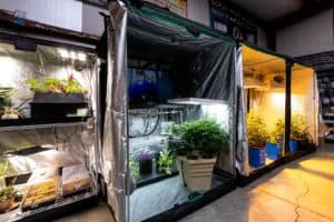 Plants bring grown in tents with lights and fan systems