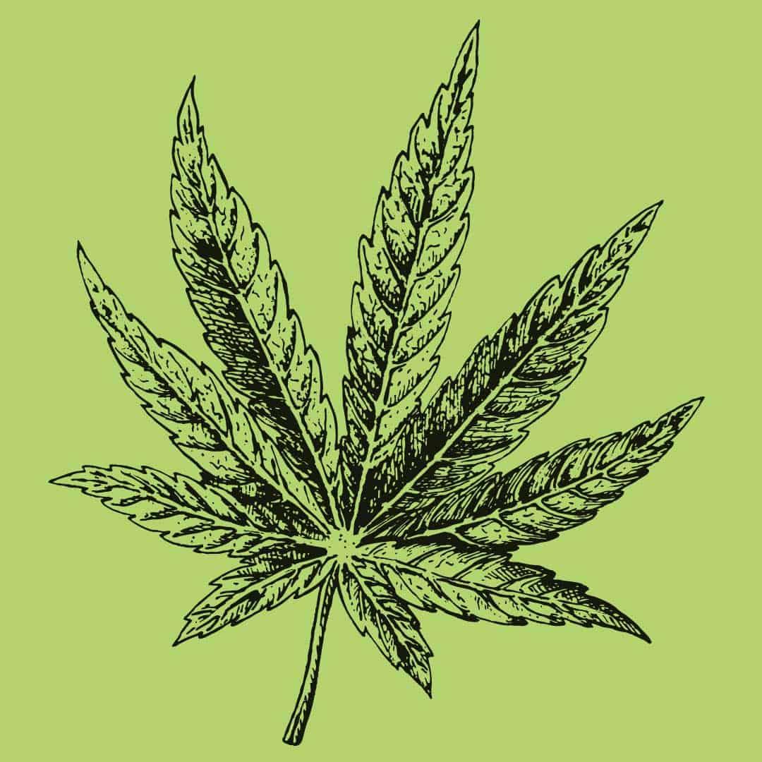 hand drawn hemp leaf illustration