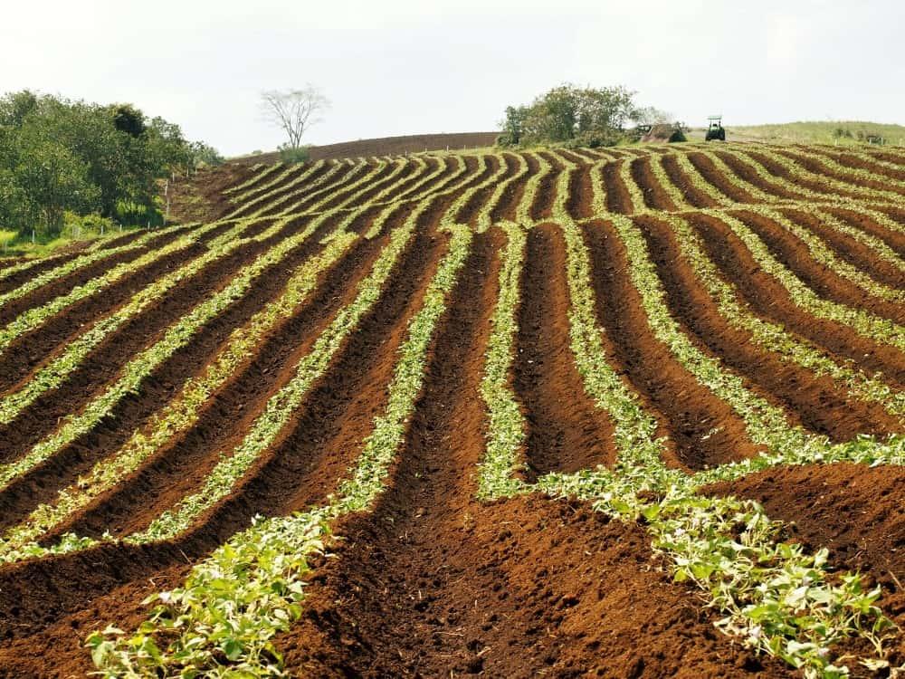 Field of crops growing