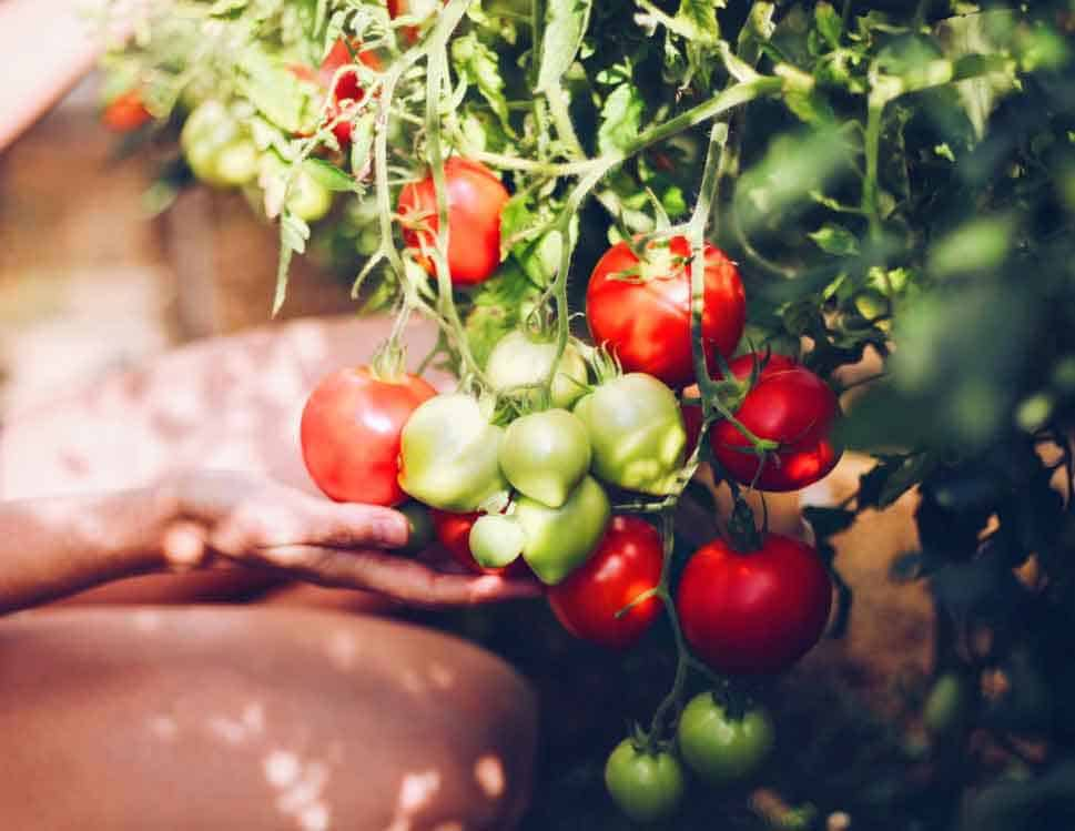 woman picking tomatoes from garden